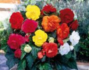 14 coloratissime varietà di begonia!